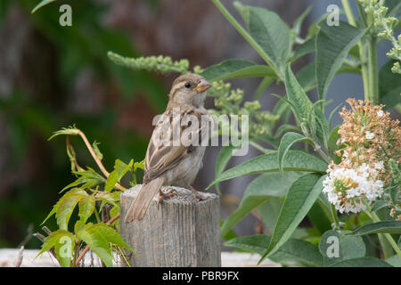 Female house sparrow (Passer domesticus) perched on a garden fence post during summer - Stock Photo