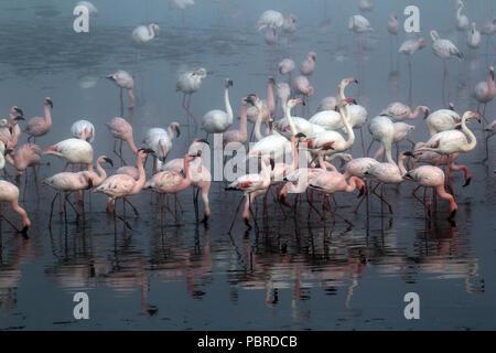 Greater flamingos (Phoenicopterus roseus) and lesser flamingos (Phoeniconaias minor) feeding at the fog-covered salt pans near Walvis Bay, Namibia. - Stock Photo