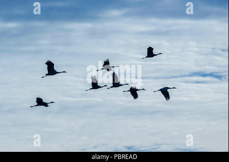 Sandhill cranes in flight, (Antigone canadensis, formerly Grus canadensis), North America, by Dominique Braud/Dembinsky Photo Assoc - Stock Photo