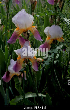 Iris × conglomerata (Bart-Iris) (Bearded Iris) (Iris d'Allemagne) - Stock Photo