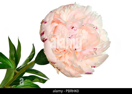 Beautiful gentle white-pink peony close up on a white background isolated with green leaves. Flowers with delicate petals and delicate aroma. Concept  - Stock Photo