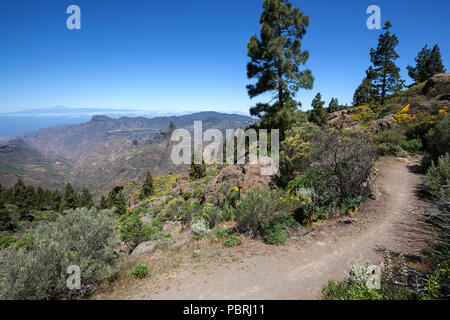 View from the trail around the Roque Nublo on blooming vegetation, Canary Island pines (Pinus canariensis), behind Tenerife - Stock Photo