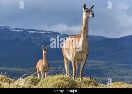 Guanacos (Lama guanicoe) on a ridge, Tamango National Reserve National Park, at Cochrane, Patagonia, Chile - Stock Photo