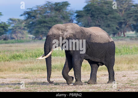 African elephant (Loxodonta africana) after the mud bath, Amboseli National Park, Kenya, East Africa, Africa - Stock Photo