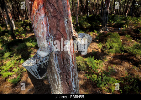 Pine resin collecting cups on the trunk of a pine tree in Portugal  closeup - Stock Photo