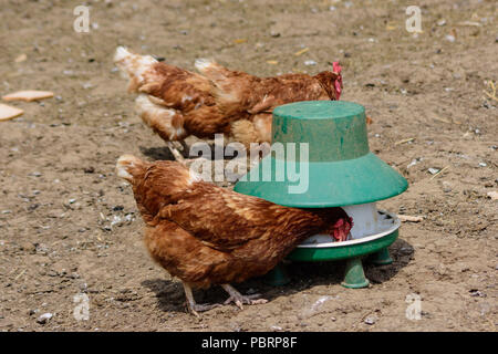 An ex battery rehomed free range ISA brown hen pecking grain from a chicken feeder - Stock Photo