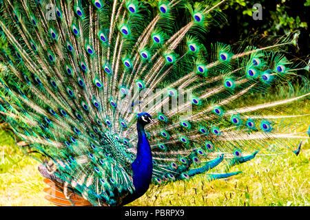 Peacock in a park in Paris, France - Stock Photo