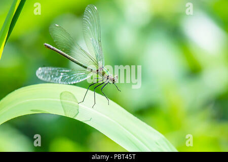 Banded demoiselle, Calopteryx splendens female, in flight, landing on grass leaf.Popular, colourful insect widespread on british river banks.Wildlife. - Stock Photo