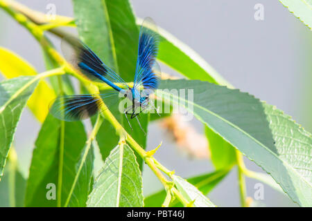 Banded demoiselle, Calopteryx splendens male in flight, attempting to land on plant leaf.Popular, colourful insect widespread on british river banks. - Stock Photo