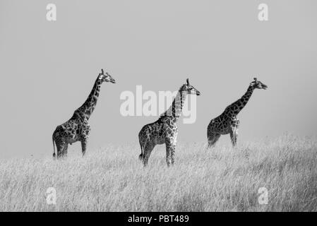 Giraffes in Grassland - Stock Photo