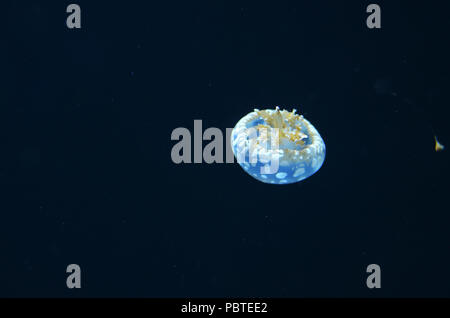 A small white jellyfish with tentacles floating down in dark water - Stock Photo