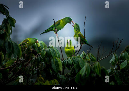 The orange-chinned parakeet (Brotogeris jugularis), also known as the Tovi parakeet, is a small mainly green parrot of the genus Brotogeris. - Stock Photo