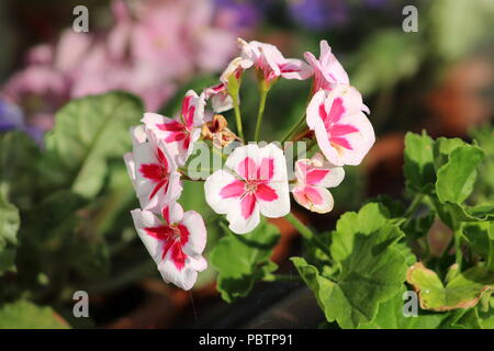 Americana White Splash Pelargonium Geranium rosy-pink and white bi-coloured flowers set off against dark green foliage background on warm sunny day - Stock Photo