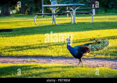 A Peafowl Peacock in Ham Lake, Minnesota - Stock Photo