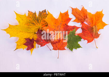 set of various leaves of maple trees isolated on white background.Variegated Autumn Fresh maple leaves. Maple leaf. Copy space - Stock Photo