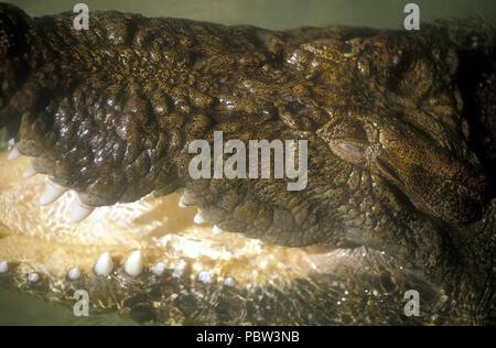CLOSE-UP OF THE EYE AND JAW OF A SALTWATER CROCODILE (CROCODYLUS POROSUS) KAKADU NATIONAL PARK, NORTHERN TERRITORY, AUSTRALIA - Stock Photo
