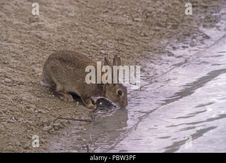 A European wild rabbit (Oryctolagus cuniculus) drinks from a waterhole in drought stricken outback Australia. - Stock Photo