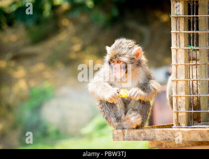 A juvenile Japanese macaque (Macaca fuscata), a.k.a. snow monkey, eats a banana at Iwatayama Monkey Park on Mount Arashiyama, Arashiyama, Kyoto, Japan - Stock Photo