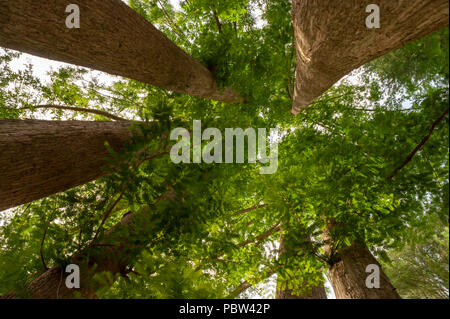 Looking up into the branch structure of a multi-stem Dawn Redwood tree (Metasequoia glyptostroboides). Arnold Arboretum, Boston, Massachusetts, USA - Stock Photo