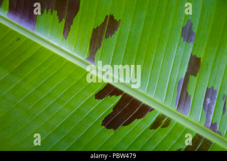 A large beautiful leaf of an exotic plant with veins. Close-up. - Stock Photo