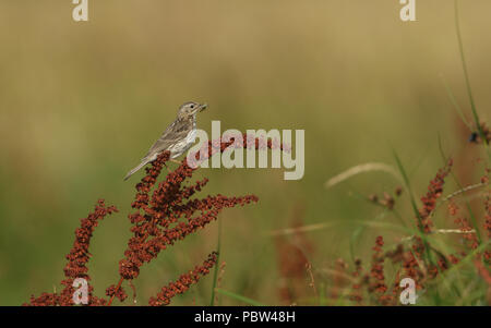 A pretty Meadow Pipit (Anthus pratensis) perching on a broad-leaved doc plant with a Grasshopper in its beak for its babies, that are in a nest on the - Stock Photo