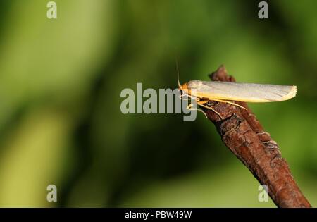 A pretty Common Footman (Eilema lurideola) perching on a twig. - Stock Photo