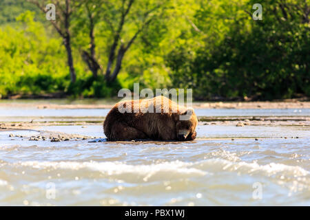 Brown bear (Ursus arctos beringianus) sleeping on the Kurile Lake. Kamchatka Peninsula, Russia. - Stock Photo