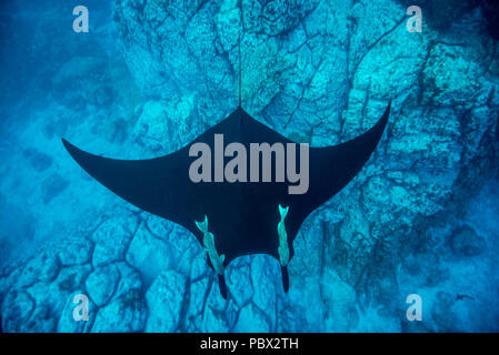Manta Ray above the bottom - Socorro Revillagigedo Mexico - Stock Photo