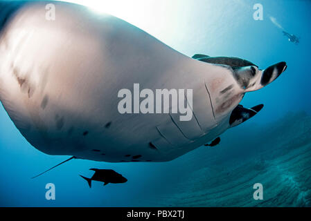 Manta Ray under the surface - Socorro Revillagigedo Mexico - Stock Photo