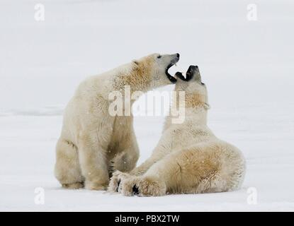 Two polar bears playing with each other in the tundra. Canada - Stock Photo