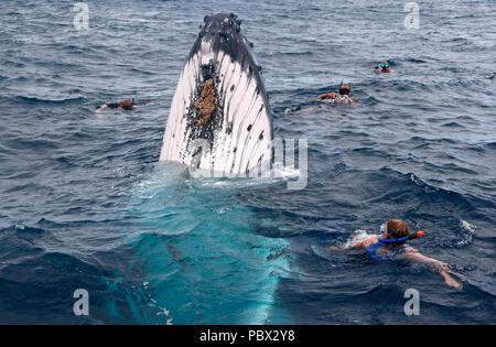 Humpback whale (Megaptear novaeangliae) with divers, Kingdom of Tonga. - Stock Photo