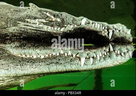 Central american alligator (Crocodylus acutus) surface, Jardines de la Reina National Park, Cuba - Stock Photo