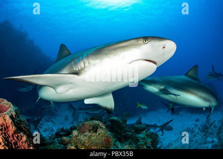 Caribbean reef sharks (Carcharhinus perezi), Jardines de la Reina National Park, Cuba - Stock Photo