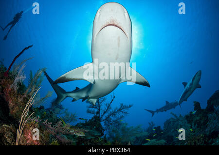 Caribbean reef shark (Carcharhinus perezi), Jardines de la Reina National Park, Cuba - Stock Photo