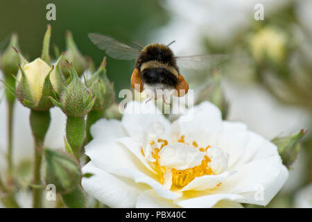 White-tailed bumblebee, Bombus lucorum, worker taking off fully laden after collecting pollen from a whjite rose flower, June - Stock Photo