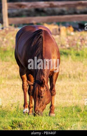 Horse in pasture at sunset; near Salida; Colorado; USA - Stock Photo