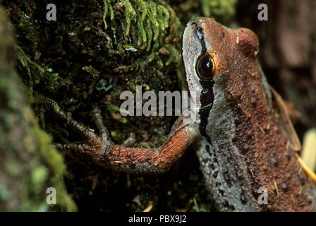 Tree frog, McKenzie Wild & Scenic River, Willamette National Forest, Oregon - Stock Photo