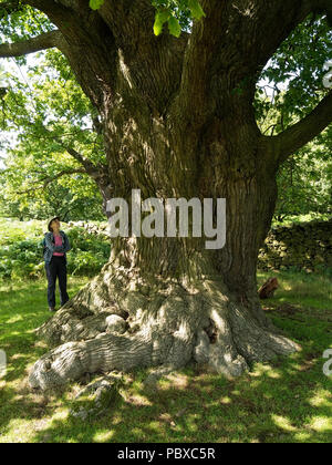 Woman looking at giant old English Oak tree trunk in Bradgate Park, Leicestershire, England, UK - Stock Photo
