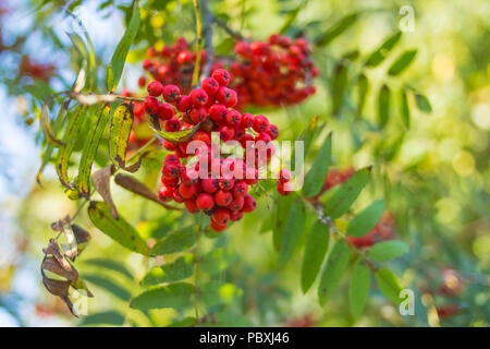 Rowan branches covered with beautiful red berries. Total captured one of the autumn mornings. Mountain ash branches.Rowan berries ripen on the tree. - Stock Photo