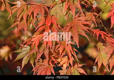 Acer palmatum Hessei - Stock Photo