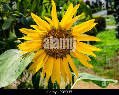 A large sunflower blooms in a small park in central Kanagawa Prefecture, Japan - Stock Photo