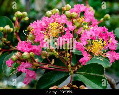 a macro shot of small crape myrtle flowers on a large tree in a small park in central Kanagawa, Japan. - Stock Photo