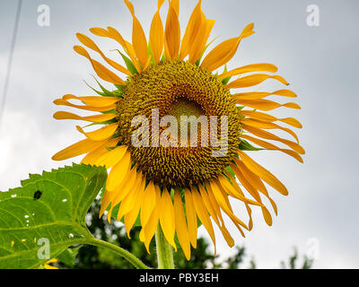A large sunflower blooms against a cloudy sky in a small park in central Kanagawa Prefecture, Japan - Stock Photo