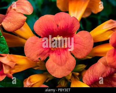 A large cluster of trumpet vine flowers bloom along a roadside in central Kanagawa Prefecture, Japan - Stock Photo
