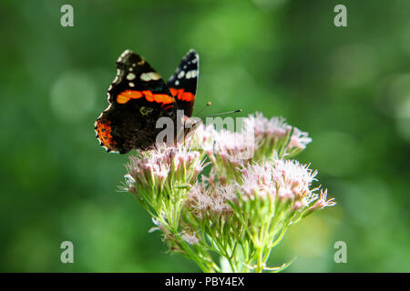 Beautiful black, orange and white vanessa atalanta, the red admiral or previously, the red admirable butterfly feeding on purple pink flower. Soft foc - Stock Photo