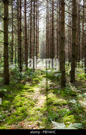 Sun beams through pine trees in a beautiful green forest with a carpet of fresh moss - Stock Photo