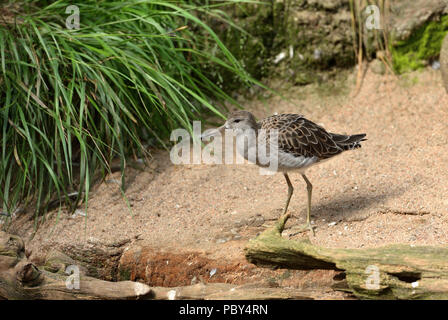 Ruff (Calidris pugnax), medium-sized wading bird that breeds in marshes and wet meadows - Stock Photo