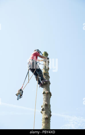 A tree surgeon with a chain saw in the process of cutting down a tall tree - Stock Photo