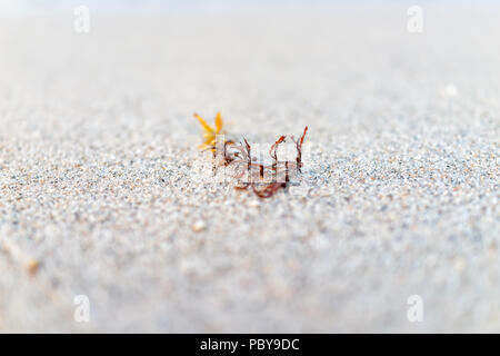 Macro closeup of dark red orange seaweed on beach sand showing detail, texture, bokeh during day in Miami, Florida with grains - Stock Photo