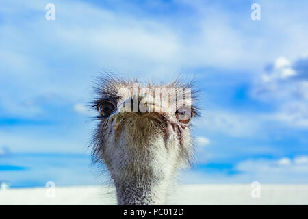 Ostrich in a farm on a background of blue sky looking at you - Stock Photo